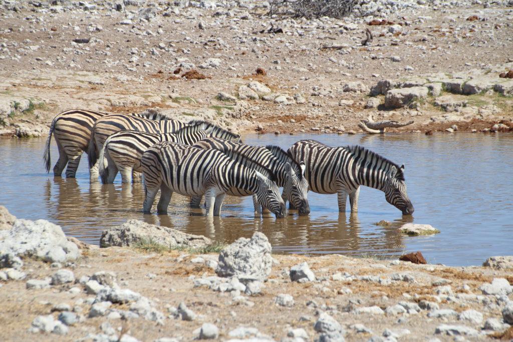 Zebras Wasserloch Etosha Nationalpark Namibia