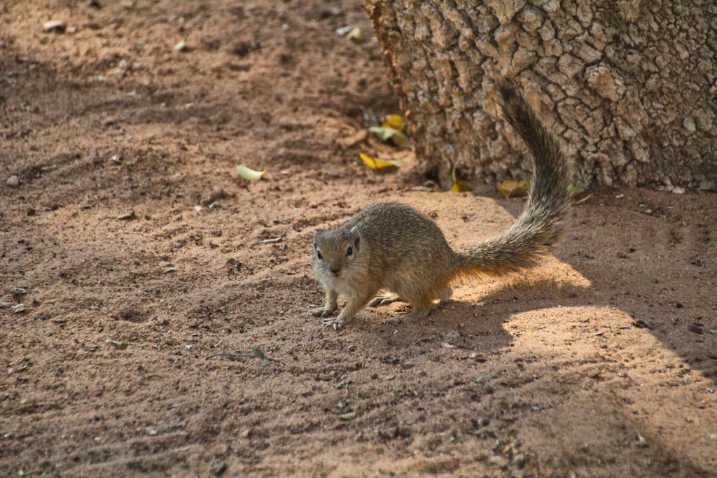 Hörnchen im Etosha Nationalpark Namibia