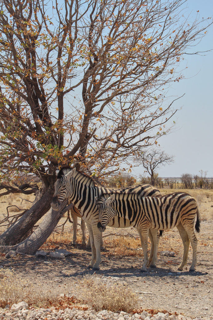 Zebras Etosha Nationalpark Namibia