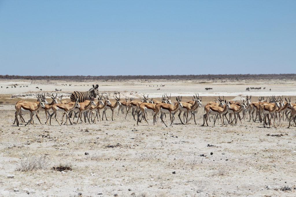 Springböcke und Zebra Etosha Nationalpark Namibia