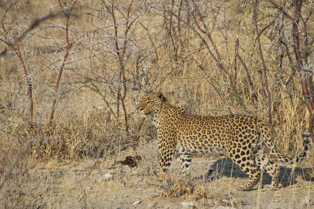 Leopard Safari Etosha Nationalpark Namibia