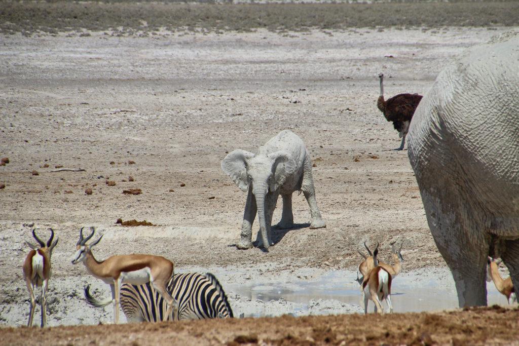 Elefantenbaby am Wasserloch Etosha Nationalpark Namibia