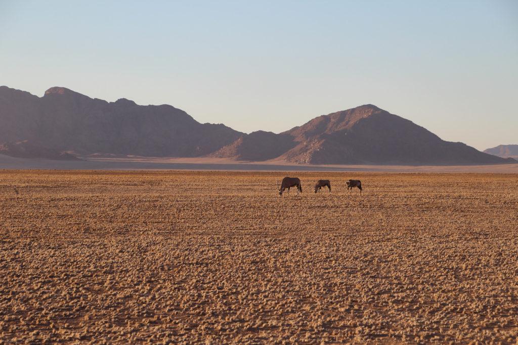 Oryxantilopen im Namib-Naukluft-Nationalpark Namibia