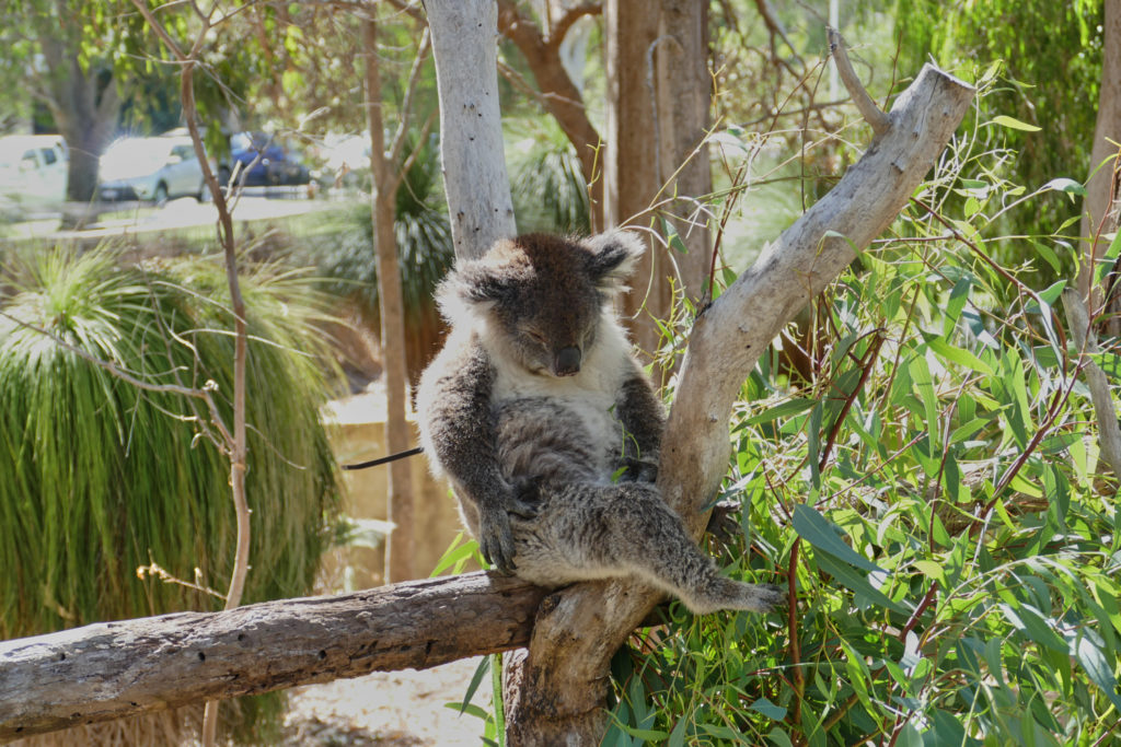 Koala Yanchep Nationalpark Westaustralien