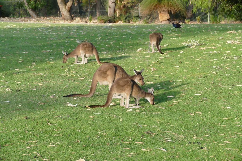 Kängurus im Yanchep Nationalpark, Westaustralien