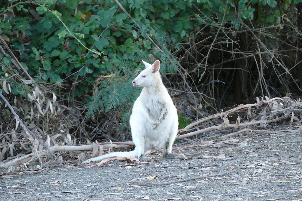 White Wallabys Bruny Island Camper Rundreise Tasmanien