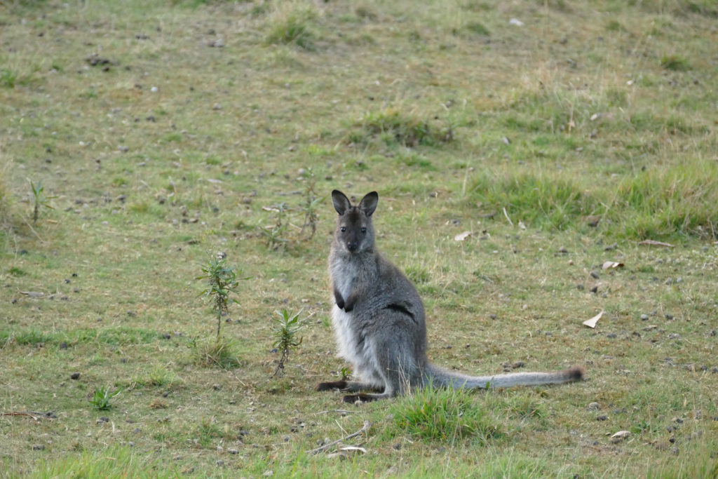 Wallabys Bruny Island Tasmanien
