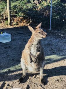 Tasmanien Wallaby Friendly Beaches