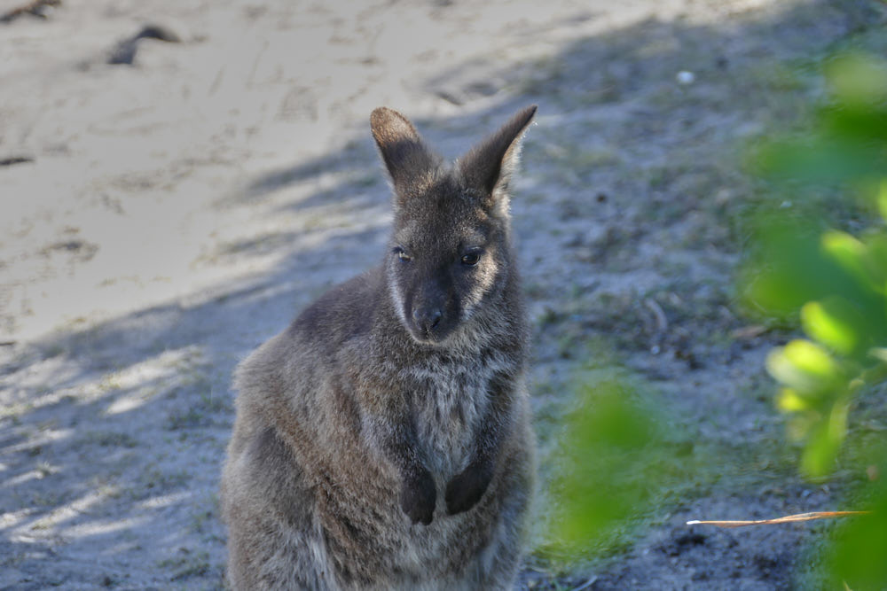 Wallaby Friendly Beaches