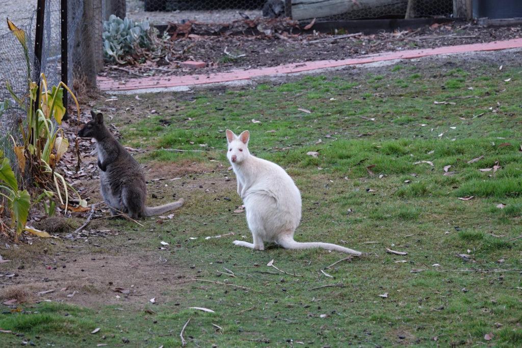 Weißes Wallaby auf Bruny Island Tasmanien
