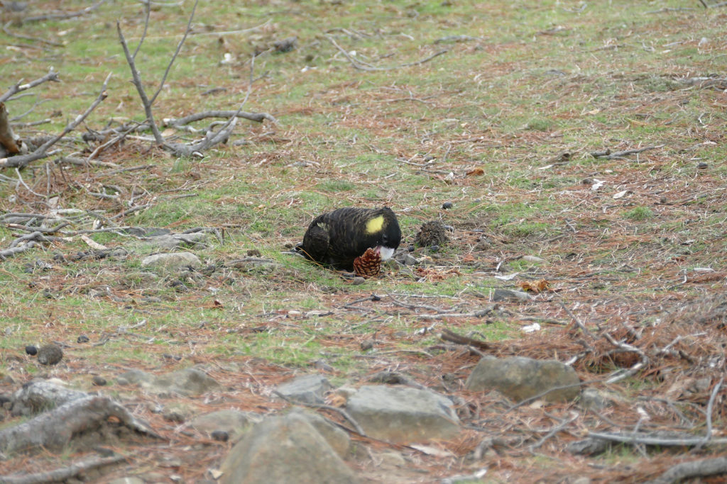 Sehenswürdigkeiten Tasmanien Gelbohr Rabenkakadu Maria Island