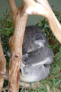 Koala Bonorong Wildlife Sanctuary