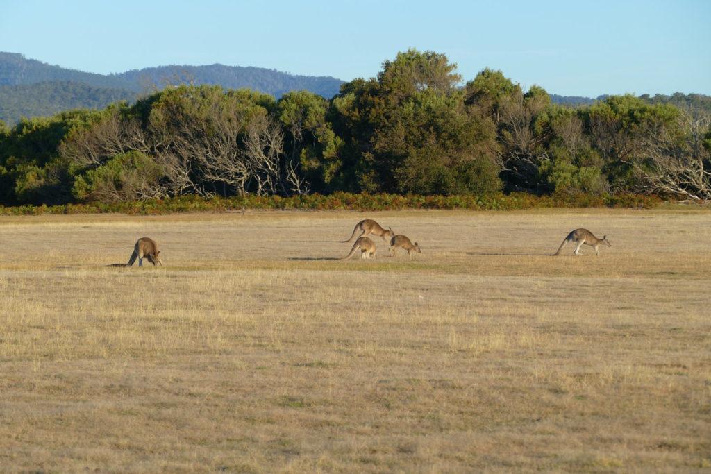Känguru Wiese im Narawntapu Nationalpark