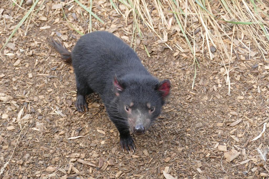 Tasmanischer Teufel Bonorong Wildlife Center