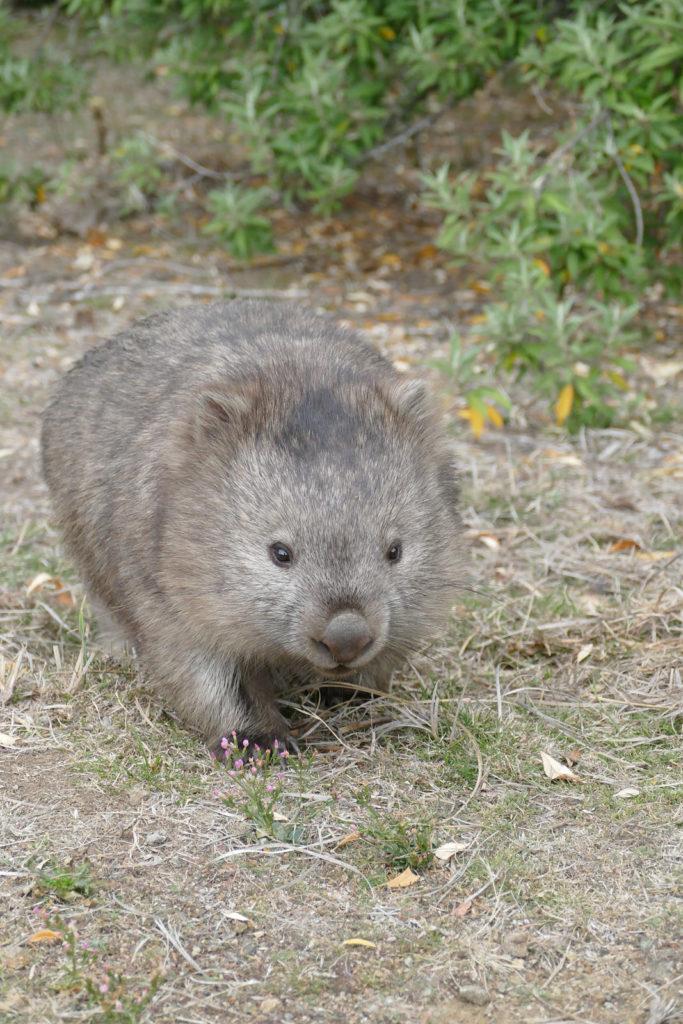 Sehenswürdigkeiten Tasmanien Wombat Maria Island