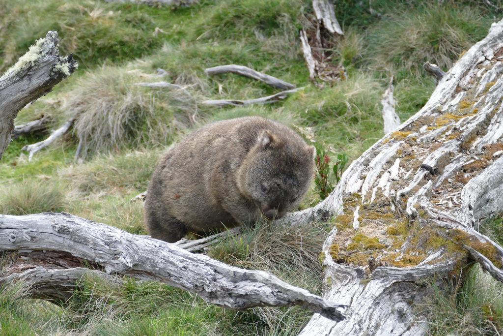Sehenwürdigkeit Tasmanien Wombat Wiese Cradle Mountain