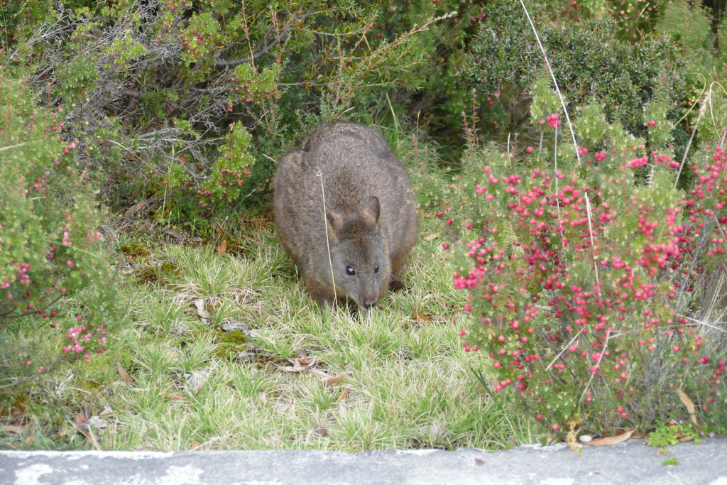 Wombat Wiese Cradle Mountain
