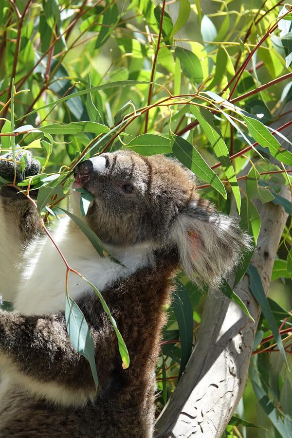 Koala Westaustralien