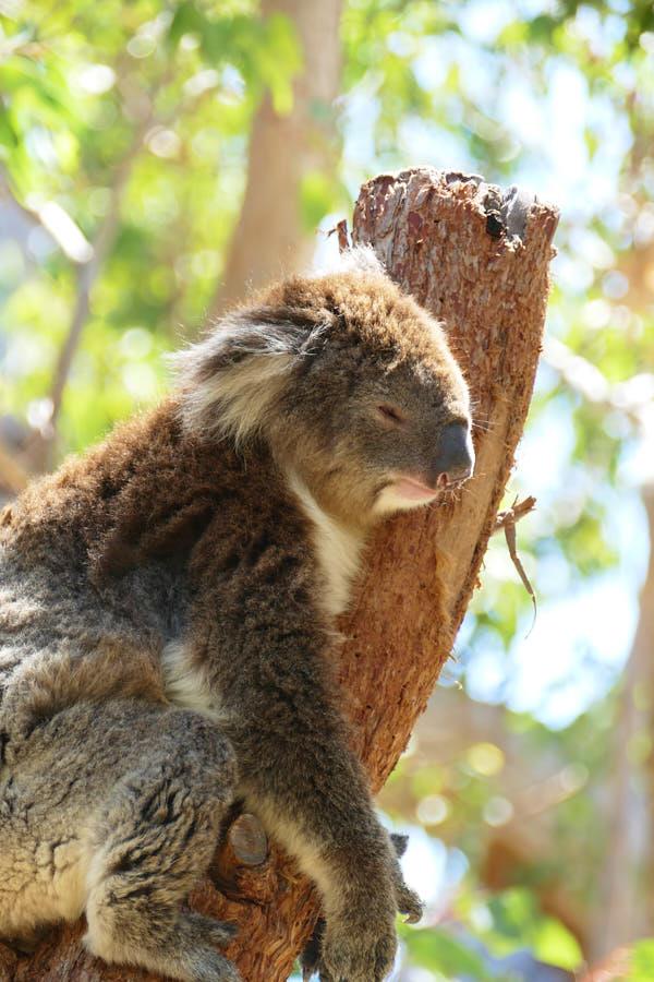 Yanchep Nationalpark Koala