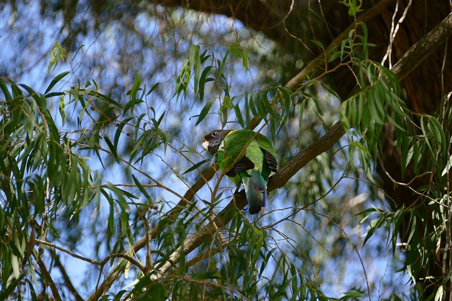 Papagei Yanchep Nationalpark