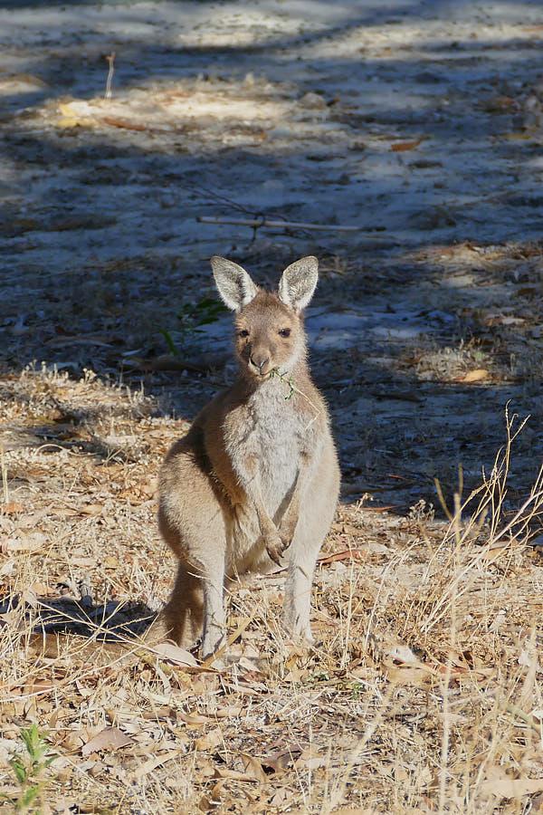 Känguru Yanchep Nationalpark Westaustralien