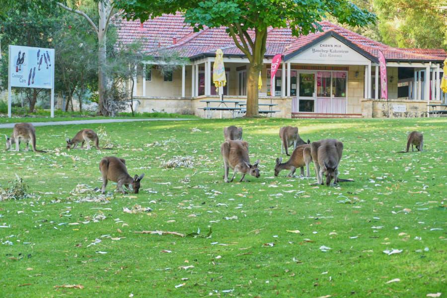 Kängurus Yanchep Nationalpark