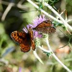 Elba Natur Schmetterlinge