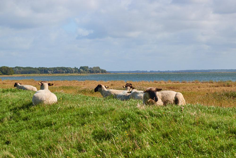 Schafe Zingst