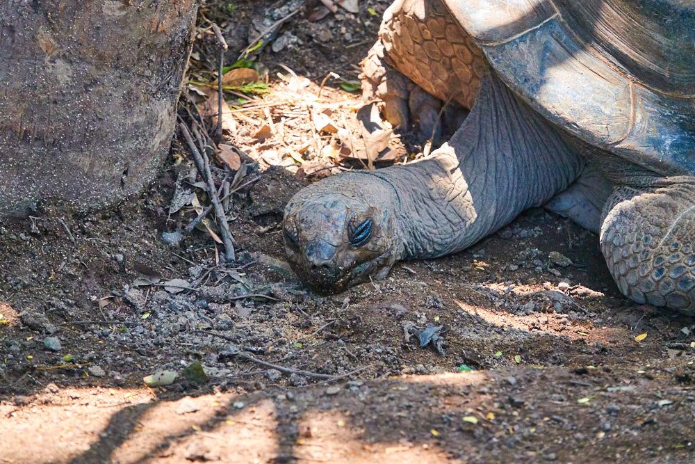 Mauritius Riesenschildkröte