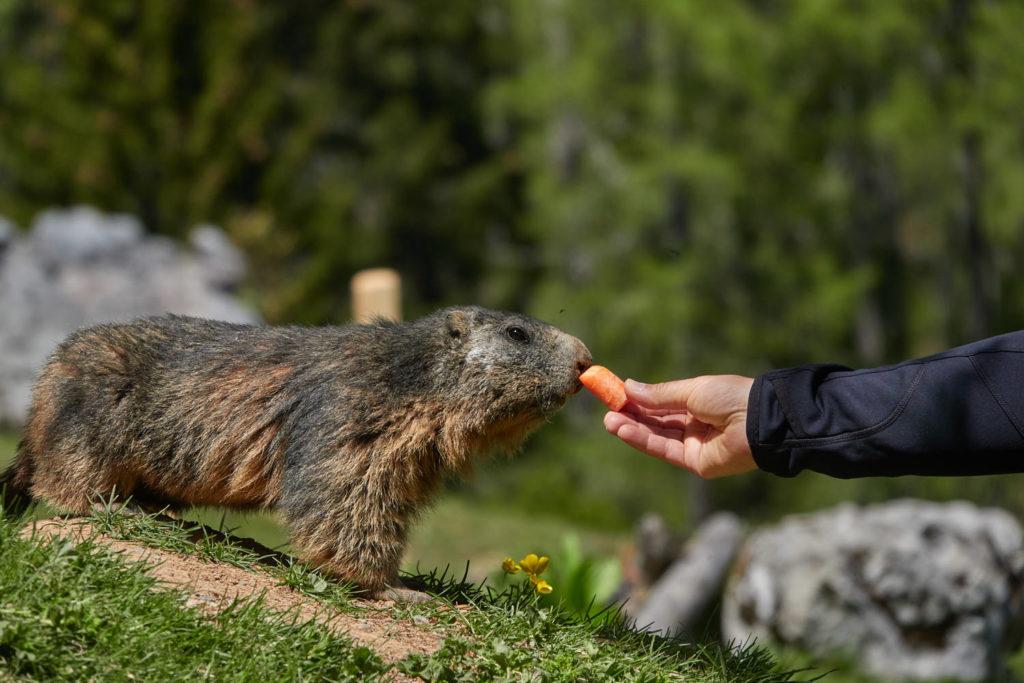 Murmeltier frisst Karotte aus der Hand